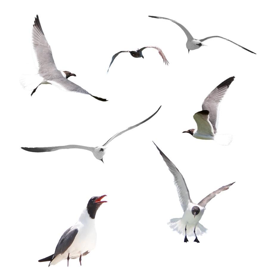 Seagull Overlays  